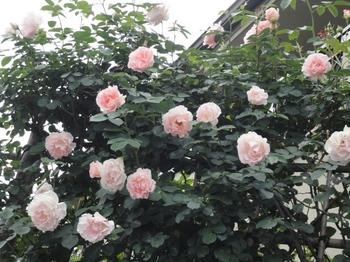 ご近所のバラ.jpg