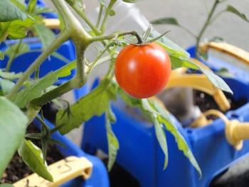 トマト3.jpg