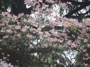 入口の花水木.jpg
