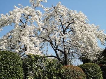 有名な桜.jpg