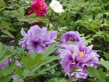 薄紫三本.jpg